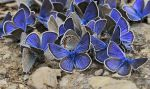Throng of copper-butterfly by ohlopkov