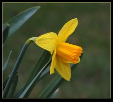 Daffodil - for Teresa by JocelyneR
