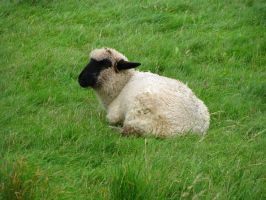 Animals 038 Sheep by Dreamcatcher-stock