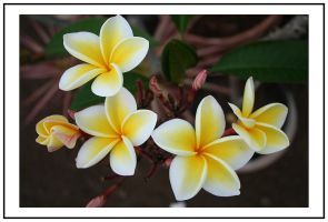 The Stages of a Plumeria by favoritism