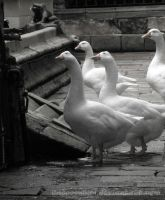 geese (barcelona) by GascoonSan