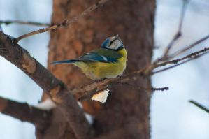 Blue titmouse1 by NRichey