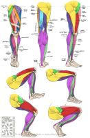 Anatomy - Leg Muscles by Canadian-Rainwater