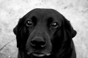 "My Black Lab ""Magic"" by anarchysk8bdr"