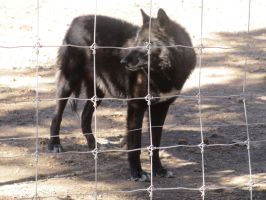 Colorado Wolf and Wildlife Center_32 by LumiTheWolf