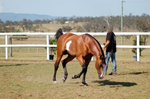 GE Arab pinto head down trot by Chunga-Stock