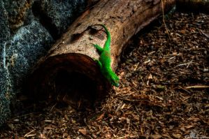 gecko by CatchMePictures