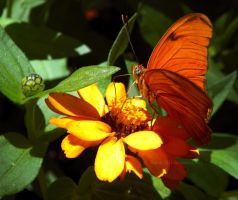 Julia Dryas Iulia butterfly by Bimmi1111