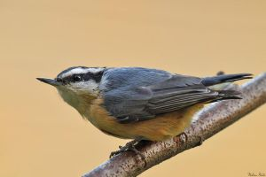 Little Nuthatch by mydigitalmind