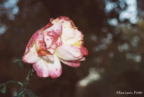 Rose in garden by mmariang