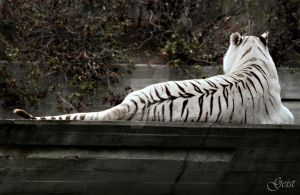 Zoo: White Tiger by electr0geist