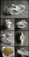 Bernese Mountain Dog Skull by CabinetCuriosities