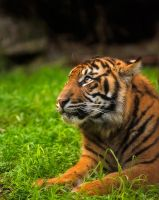 Sumatran Tiger iv by weaverglenn
