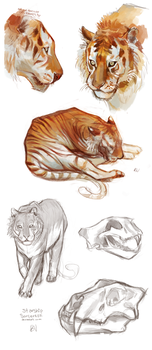 Tiger Studies by StarshipSorceress