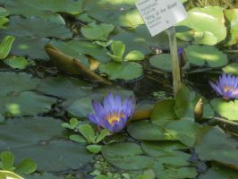 waterlilys pond flora by ingeline-art