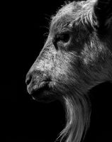 Goat 3 by tpphotography