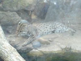 Asian Fishing Cat by Archanubis