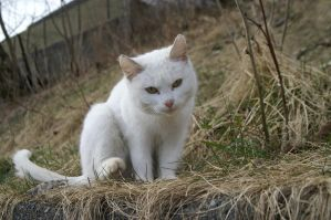 White Cat by AlyceElric