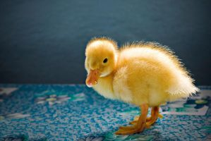 ducky duck by PortraitOfaLife