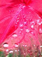 pink leaf,  pink water drops ^^ by GabrielleC-Drawings