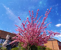 Cherry Blossoms by GraceDoragon