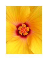 Hibiscus by londonxpress