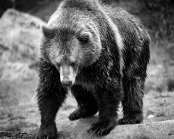 Grizzly by DeniseSoden