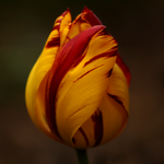 Tulip 50 by DorianStretton
