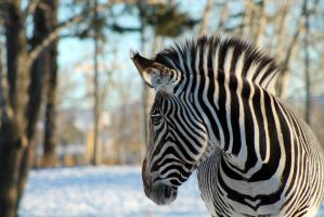 Stripes by wildhorsedreams
