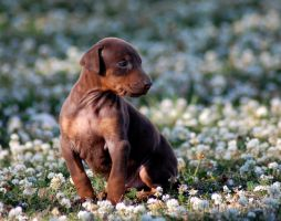 Dobermann puppy and flowers by felill