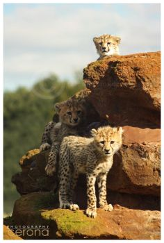 Big Pile o'Cheetahs by ceronaPhotos