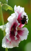 bee and flower2 by Mrs-Mims