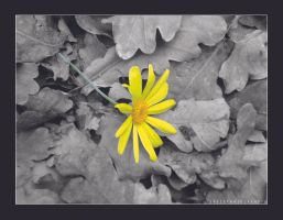 Isolated flower by pyonicist