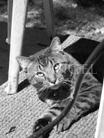 Timmy the Cat by ReneeRouge