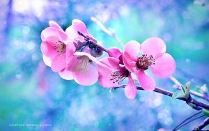 Pink Blossoms by SepidehDavoodi