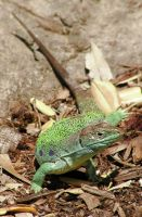 Ocellated Lizard Stock by TalkStock