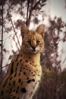 serval by NicolasM