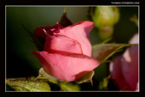 The Rose_002 by tomba76