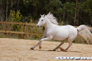 canter side on left arab by Chunga-Stock