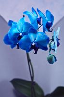 blue orchid by tea