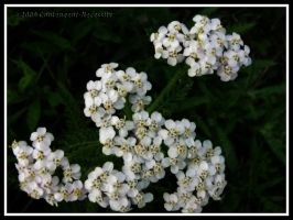 Little White Cluster by Contengent-Necessity