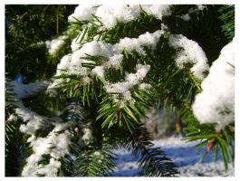 Macro Test: Fir Tree by PoultryChamp