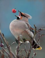 Waxwing PS by nosoart