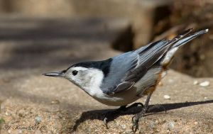 Nuthatch Goodness by BirdinByNoon