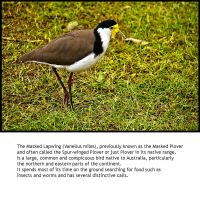 Masked Lapwing by BeauNestor