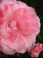 Pink Blooming Rose by my-dog-corky