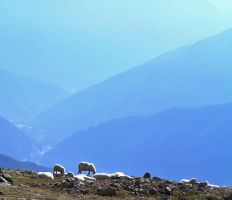 Sheep at rest by edelweiss26
