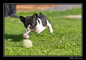 french bulldog 15 by mikkolo77