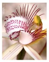 Margaret river spider orchid by tommont