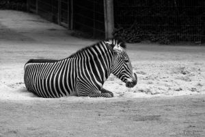 Zebra by AlopexXx